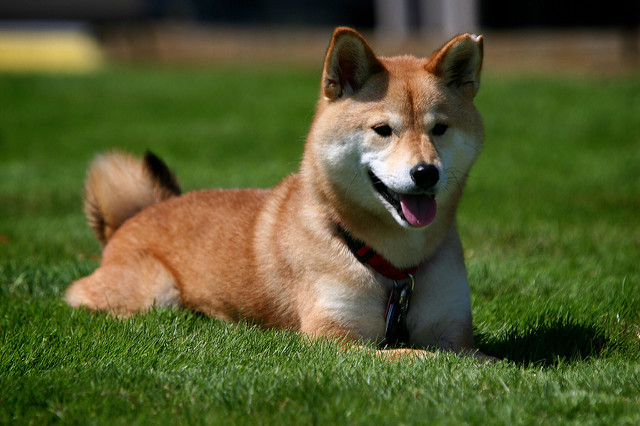 the origin of the doge everything a shiba should know about the